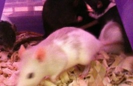 Female Rat Group